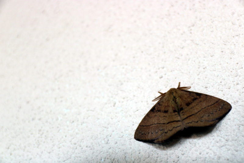 The Chinese believe that the soul of the dead manifests into moths. Image Source: Shutterstock